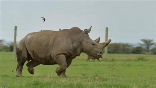 """نفوق """"سانا"""" أقدم أنثى وحيد قرن أبيض في فرنسا عن عمر 55 عاماً"""