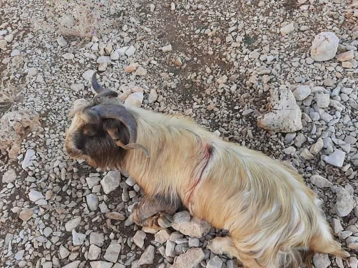 بلدية بقاعصفرين استنكرت قتل 50 رأس ماعز في القرنة السوداء